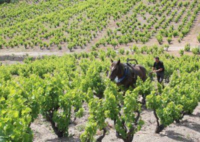 Labour au cheval sur le terroir de l'AOP Maury